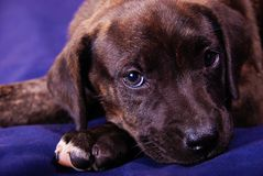 Cute Puppy - Missy 2 Royalty Free Stock Photography