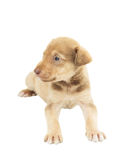 Cute puppy mutts Royalty Free Stock Photos
