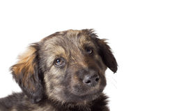 Cute puppy muzzle Stock Photography