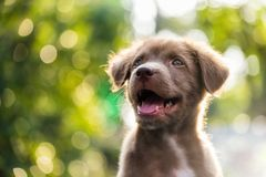 Cute puppy with natural bokeh background. Portrait of happy adorable Brown labrador retriever puppy dog smile against natural sunset foliage bokeh background and royalty free stock images