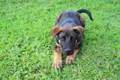 Black puppy with brown markings lying down. A cute puppy obediently assumes a down outside in the grass Stock Photos