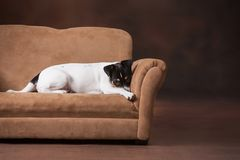 Free Cute Puppy On Couch Stock Photography - 142819592