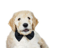 Cute puppy over white. Cute goldendoodle puppy with black bow tie over white Stock Image