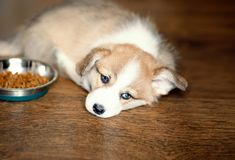 Cute Puppy overeating dog food and laying looking at camera. Dry. Food and the dog who eats a lot royalty free stock images