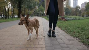 Cute puppy with owner walking in autumn park stock footage
