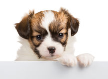 Cute puppy Papillon leans on blank banner Royalty Free Stock Image