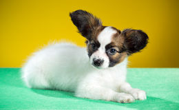 Cute puppy Papillon Royalty Free Stock Images