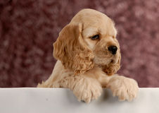 Cute puppy with paws up. American cocker spaniel puppy with paws over white foreground stock photos