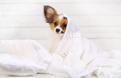 Cute puppy on pillows Stock Photography