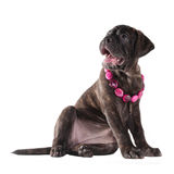 Cute puppy with pink beads Stock Photo