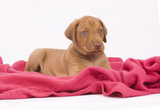 Cute puppy on pink blanket, looking. An adorable Rhodesian Ridgeback puppy lying on a pink blanket in front of white background. The little puppy is six weeks of Stock Photo