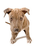 Cute puppy pit bull Royalty Free Stock Photos