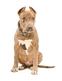 Cute puppy pit bull Royalty Free Stock Images