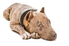 Cute puppy pitbull Stock Photo