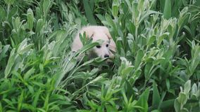 A cute puppy is played and hides in the grass and large green plants close-up.  stock video footage