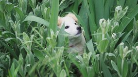 Cute puppy is played and hides in the grass and large green plants close up.  stock video footage
