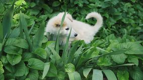 A cute puppy is played and hides in the grass and large green plants.  stock video footage