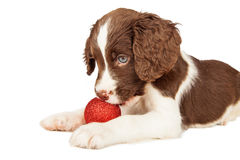 Cute Puppy Playing With Christmas Bulb Royalty Free Stock Images