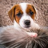 Cute puppy is playing in fur on brown background. royalty free stock photo