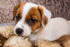 Cute puppy is playing in fur on brown background. stock image