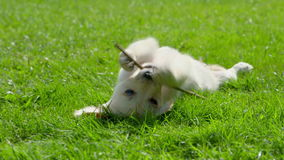 Cute Puppy is Playing