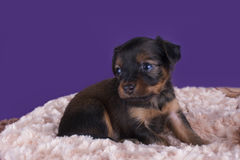 Cute puppy playing on the rug Royalty Free Stock Photography