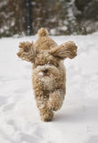 Cute puppy playing in the snow. Cute Cockapoo puppy playing fetch in the snow stock photos