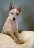 Cute puppy with pointed ears Royalty Free Stock Image