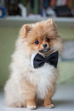 Cute puppy Pomeranian in a bow tie Royalty Free Stock Images