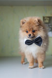 Cute puppy Pomeranian in a bow tie Stock Photos