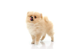 Cute puppy of pomeranian licking lips on white background Royalty Free Stock Photography