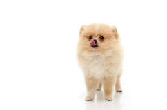 Cute puppy of pomeranian licking lips on white background Royalty Free Stock Photo
