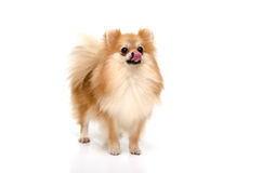 Cute puppy of pomeranian licking lips on white background Royalty Free Stock Image