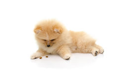 Cute puppy pomeranian playing on white background Royalty Free Stock Photo