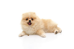 Cute puppy pomeranian playing on white background Royalty Free Stock Images
