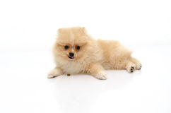 Cute puppy pomeranian playing on white background Stock Image
