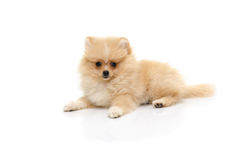 Cute puppy pomeranian playing on white background Stock Images