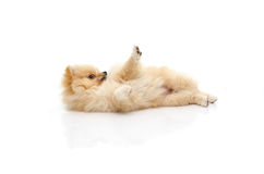 Cute puppy pomeranian playing on white background Stock Photos