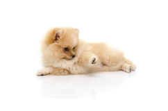 Cute puppy pomeranian playing on white background Royalty Free Stock Image