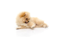 Cute puppy pomeranian playing on white background Royalty Free Stock Photography