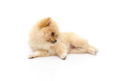 Cute puppy pomeranian playing on white background Stock Photography