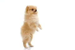 Cute puppy of pomeranian standing with two legs on white backgro Stock Photo