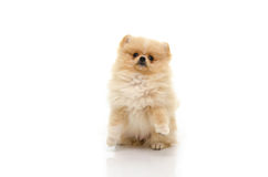 Cute puppy of pomeranian standing with two legs on white backgro Royalty Free Stock Photos