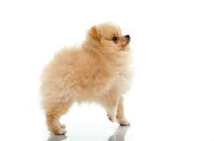 Cute puppy of pomeranian on white background Royalty Free Stock Photo