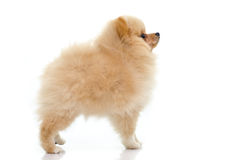 Cute puppy of pomeranian on white background Stock Images