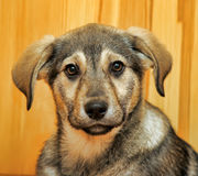 Cute puppy pooch Stock Images