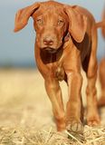 Cute puppy portrait. Rhodesian ridgeback liver nosed puppy Royalty Free Stock Photos