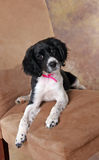 Cute Puppy Pose. Cute Springer Spaniel Puppy Posing for the camera royalty free stock images