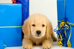 Cute puppy for a present Stock Photography