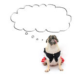 Cute puppy pug dog sit with tongue out and look up to the cloud for label text banner. Conceptual of pug dog banner or advertiseme Royalty Free Stock Photos